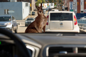 Volvo's Self-Driving Cars Are Being Driven Haywire by Kangaroos
